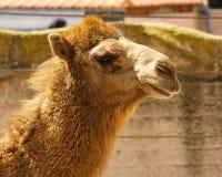 Zoo animal yellow camel head close up at sunny day . stock photography
