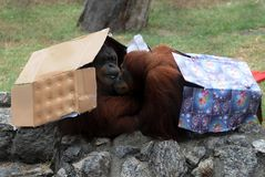 Zoo animals. Animals get Christmas gifts in zoo in Rio de Janeiro, Brazil royalty free stock photo