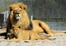 Zoo animals in Copenhagen zoo park, Denmark. Pride of lions in zoo park, Copenhagen, Denmark royalty free stock photos