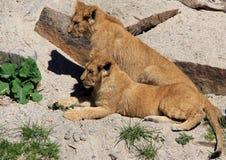 Zoo animals in Copenhagen zoo park, Denmark. Pride of lions in zoo park, Copenhagen, Denmark royalty free stock images