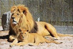 Zoo animals in Copenhagen zoo park, Denmark. Pride of lions in zoo park, Copenhagen, Denmark royalty free stock photo