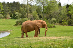 Zoo animals. Elephant. An African elephants at the Asheboro Zoo in Asheboro, NC Stock Photos