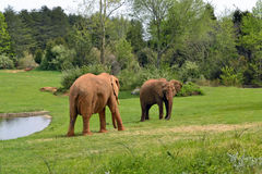 Zoo animals. Elephants Royalty Free Stock Photo