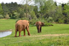 Zoo animals. Elephants Royalty Free Stock Photography