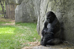 Zoo animals. Gorilla. Gorilla in the zoo enclosure at the Asheboro Zoo in Asheboro, NC Stock Images