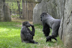 Zoo animals. Gorillas. Family of grillas in the zoo enclosure at the Asheboro Zoo in Asheboro, NC Stock Photo