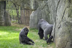 Zoo animals. Gorillas Royalty Free Stock Photography