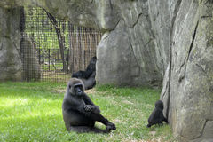 Zoo animals. Gorillas Royalty Free Stock Photos