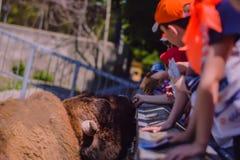 Buffalo in the Zoo stock image