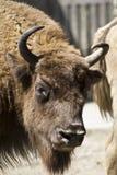 Zoo buffalo Stock Photography