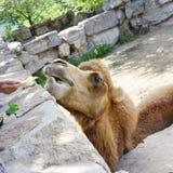 Zoo Camel Eating Lettuce Royalty Free Stock Photos