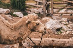 Zoo camel captive. Captive camel roaming in a zoo stock images