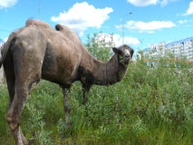Zoo in the city of Nadym. Camel on the grass. Stock Image