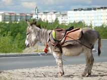 Zoo in the city of Nadym. Pony is on the road. Royalty Free Stock Images