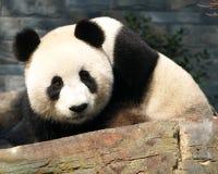 Zoo d'Adelaïde de panda géant Photos libres de droits