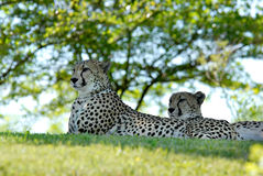 zoo de cheetas photographie stock libre de droits