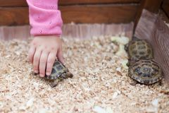Zoo de contact, tortues dans des mains d'enfants Image stock