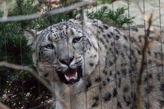 Zoo de l'Himalaya New York de Bronx de léopard de neige Photographie stock libre de droits