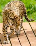 Zoo de la Région des lacs de léopard Photographie stock libre de droits