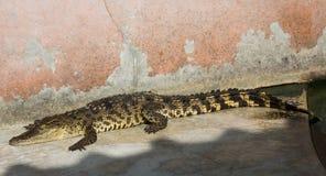 Zoo de la Thaïlande d'eau de mer de crocodile Photographie stock libre de droits