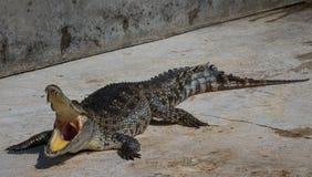 Zoo de la Thaïlande d'eau de mer de crocodile Photos libres de droits