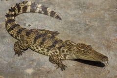 Zoo de la Thaïlande d'eau de mer de crocodile Image stock