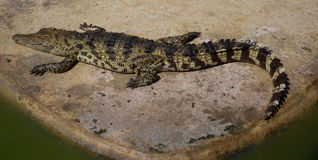 Zoo de la Thaïlande d'eau de mer de crocodile Photo libre de droits
