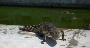 Zoo de la Thaïlande d'eau de mer de crocodile Photo stock