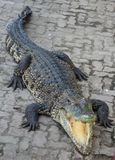 Zoo de la Thaïlande d'eau de mer de crocodile Photos stock
