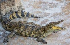 Zoo de la Thaïlande d'eau de mer de crocodile Image libre de droits