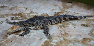 Zoo de la Thaïlande d'eau de mer de crocodile Images libres de droits