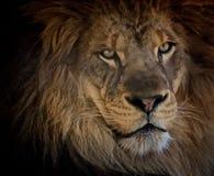 Zoo de lion Image libre de droits