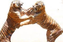 Zoo de tigre, Sriracha Thaïlande images libres de droits