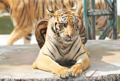 Zoo de tigre, Sriracha Thaïlande Photographie stock libre de droits