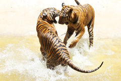 Zoo de tigre, Sriracha Thaïlande Images stock