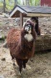 Zoo dell'alpaga all'aperto che sta vicino all'alimentatore che guarda nella macchina fotografica Immagine Stock