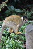 Zoo della scimmia Immagini Stock