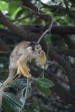 Zoo della scimmia Fotografie Stock