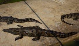 Zoo della Tailandia dell'acqua salata del coccodrillo Fotografia Stock