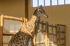 Zoo delle giraffe Fotografia Stock