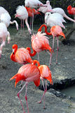 Zoo des flamants im Image stock