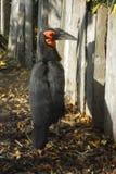 Zoo di Amneville: Bucorve del sud Fotografie Stock Libere da Diritti