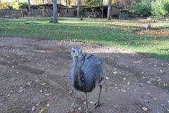 Zoo di Amneville: emù Immagini Stock Libere da Diritti