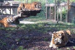 Zoo di Amneville: tre tigri Fotografia Stock Libera da Diritti