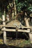 Zoo di Amneville: Un leopardo Immagini Stock Libere da Diritti