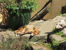 Zoo di Fox Fotografia Stock Libera da Diritti