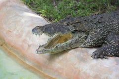 Zoo di Miami, Florida, U.S.A. - alligatore americano Fotografie Stock Libere da Diritti