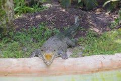 Zoo di Miami, Florida, U.S.A. - alligatore americano Immagine Stock Libera da Diritti
