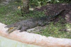 Zoo di Miami, Florida, U.S.A. - alligatore americano Immagini Stock Libere da Diritti