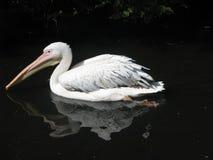 Zoo di Mosca, pellicano che galleggia in uno stagno, un bello uccello Immagini Stock Libere da Diritti